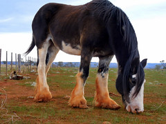 Clydesdales (Boobook48) Tags: horse farm victoria clydesdale parwan draughthorse tbacg