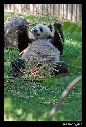 Panda comiendo bambú y bien cómodo