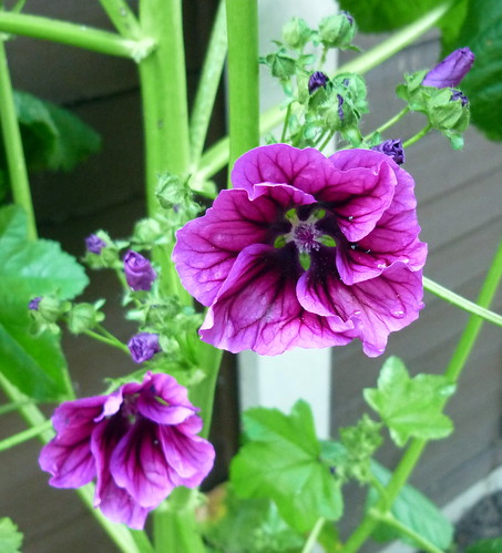 Giant Hollyhock