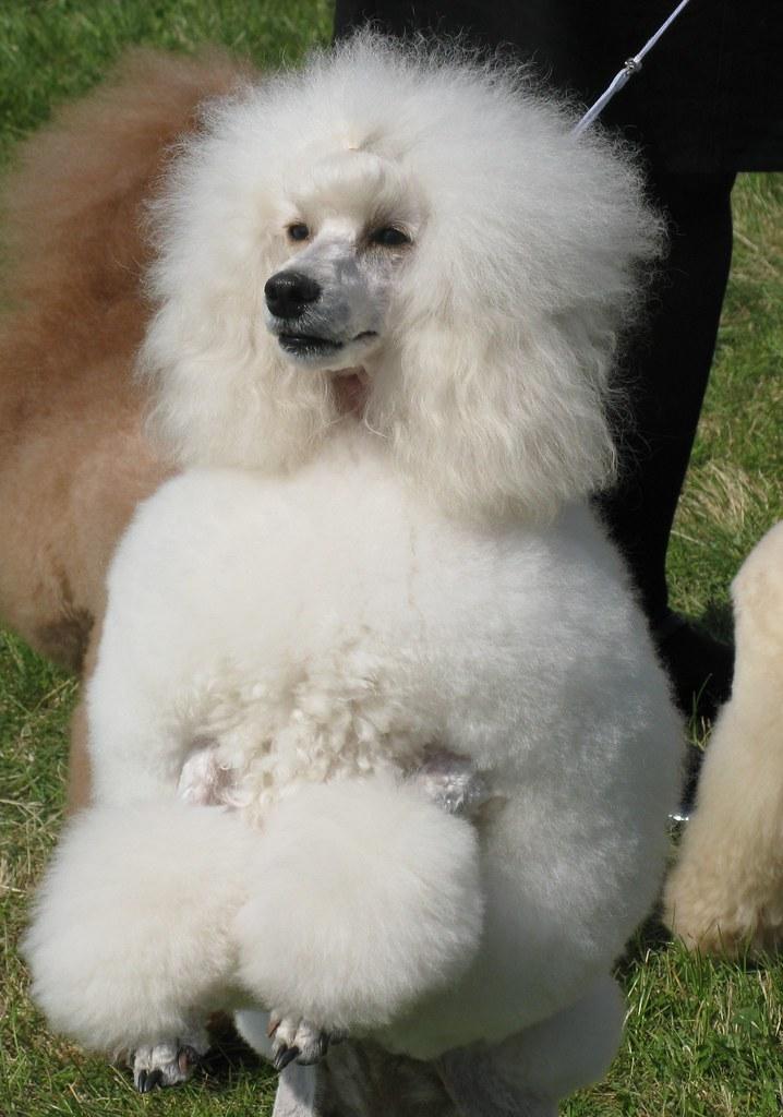 99+ White Adorable Poodle Dog