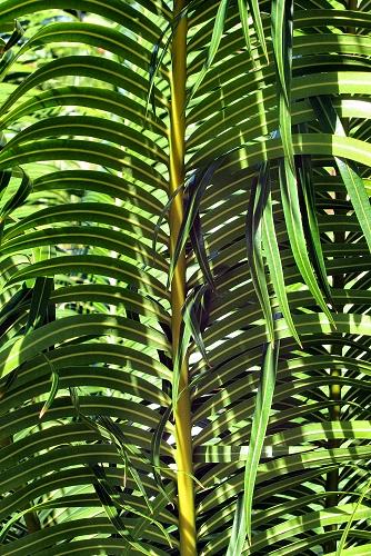 Cycas circinalis (rq) - 04