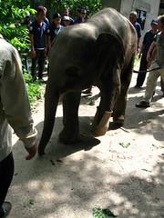 IMG_0203_4.JPG (Exceed Worldwide) Tags: elephant cambodia prosthesis prosthetics cspo