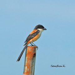 Long-tailed Shrike (somchai@2008) Tags: ed nikon nikkor f28 vr d300 400mm laniusschach longtailedshrike colorphotoaward laniusschachtricolor  vosplusbellesphotos