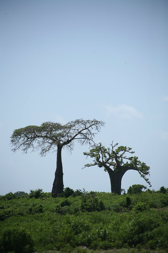 a landscape with baobabs