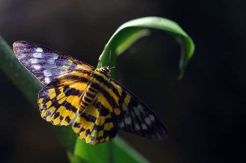 Dysphania militaris (Linnaeus)豹尺蛾