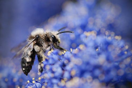 [フリー画像] 動物, 昆虫, 蜂・ハチ, ミツバチ, 201005081500