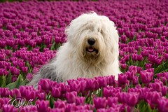 dogs are miracle's with paws (dewollewei) Tags: old english sheepdog bobtail oes oldenglishsheepdog sheepdogs oldenglishsheepdogs impressedbeauty platinumheartaward mygearandme mygearandmepremium mygearandmebronze mygearandmesilver mygearandmegold