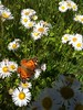 A butterfly on an aster.