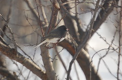 Was my Mystery Bird/ Problem solved, it is a Junco (HeyJude1968) Tags: ohio birds feedingthebirds wintertime juncos