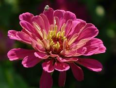 A little visitor (annkelliott) Tags: pink flowers plant canada flower macro calgary nature garden insect lumix flora alberta zinnia calgaryzoo shieldbug naturesfinest annkelliott fz18 panasonicdmcfz18 vosplusbellesphotos p1290975fz18