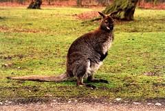 Wallaby (seanog_72) Tags: liverpool mountpleasant lancashire birkenhead threegraces johnlennon liverbird ringostarr gladstone johnmoores walton mersey strawberryfields thebeatles paulmccartney wirra