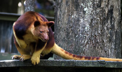 Goodfellow's Tree Kangaroo (Erik K Veland) Tags: wood red possum orange tree smile animal animals nose grey furry wildlife australia negativespace kangaroo cuddly qld queensland wikipedia species marsupial sanctuary claws roo ursinus lexicon newguinea currumbin whitespace taxonomy treekangaroo intensestare currumbinwildlifesanctuary genome dendrolagus goodfellowstreekangaroo dendrolagusursinus