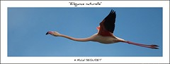 Elgance et naturel (Michel Seguret) Tags: wild fab france nature animal animals fun tiere nikon earth postcard royal paca sensational provence fabulous iq sublime 13 animaux animale shiningstar naturesbest tier camargue smrgsbord cubism cartepostale wonderfulnature bouchesdurhone otw objektif excelent nikond200 thinkgreen kartpostal parcnaturel amazingcapture golddragon royalgroup diamondheart aplusphoto flickrdiamond diamondstars wildearth thisphotorocks natureislovely goldwildlife internationalgeographic thebestmoment flickrestrellas thebestofday gnneniyisi arealgem worldtrekker thebestoftheday checkoutmynewpics gnnenlyisi overtheshot flickrovertheshot photographersgonewild nikonflickraward flickrverte naturallymagnificent momentdimagination flickrpopularphotographer croquenature excelenceofphotographer artofimages excelenceofphotographeraward flickraward diamondphotographersclub mbpictures mostbeautifulpictures michelseguret