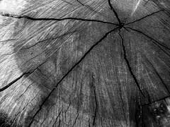 Ponto X 02 (Diogo Santos - FOTOREVEL STUDIO) Tags: bw tree corte pb tronco árvore madeira anawesomeshot canons5