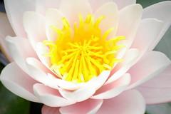 Waterlelie  Water lily (ditmaliepaard) Tags: masterphotos wonderfulworldofflowers awesomeblossoms