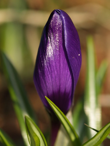 Spring flowers 8: A bud of  a Crocus flower. by Bienenwabe