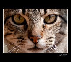 Cara de gato (scarabaeus sacer) Tags: beautiful fauna cat framed gato animales 2009 almera a3b nikond300 thechallengefactory jatm64 mygearandme mygearandmepremium mygearandmebronze