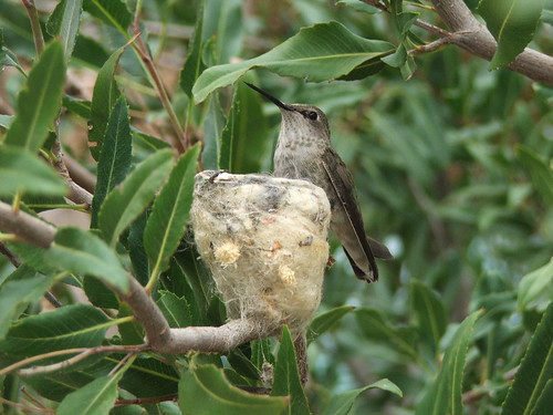 Hummingbird Guarding Her Nest