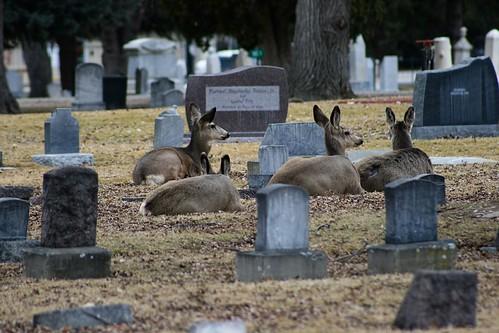 ...a group of five mule deer.