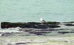 (Ole Lukoie) Tags: sea 1 seagull gull caspian kazakhstan animalplanet море чайка aktau казахстан mangistau каспий побережье актау мангистау mangyshlak мангышлак
