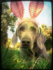 r a b b i t ~ d o g (saikiishiki) Tags: trees portrait sky dog rabbit bunny love grass sunshine easter happy spring backyard sweet ears weimaraner kawaii uncropped 2009 omoshiroi weim mukha 20f 1452 thelittledoglaughed waimaranaa 52weeksfordogs texturesbyborealnzandajsa~thanks 52weeksofmukha