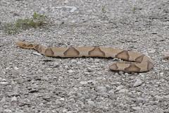 Southern Copperhead Snake (David Sledge) Tags: nature texas reptile snake wildlife predator venomous serpant scaled copperhead copperheadsnake southerncopperhead davidsledge broadbandedcopperheadsnakereptilebroadbanded book76