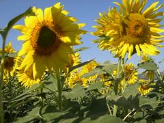 Bevagna (fabioercolini) Tags: primavera italia giallo fiori umbria olio girasoli campi bevagna