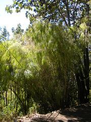 'Mexican Weeping Bamboo' (sftrajan) Tags: primavera gardens botanical berkeley spring bamboo botanicgarden lente botanicalgarden printemps springtime frhling vr jaro jardnbotnico jardinbotanique wiosna   ortobotanico universityofcalifornia forr botanischergarten botaniskhave  kasvitieteellinenpuutarha  ogrdbotaniczny botanickzahrada botanisktrdgrd mexicanplants mexicanweepingbamboo universityofcaliforniabotanicalgardenatberkeley