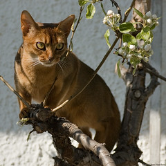 Nike overseeing the bloom (peter_hasselbom) Tags: flowers cats sun tree female cat 50mm spring usual tm inatree abyssinian peartree ruddy hardlight cc100 bestofcats trellised