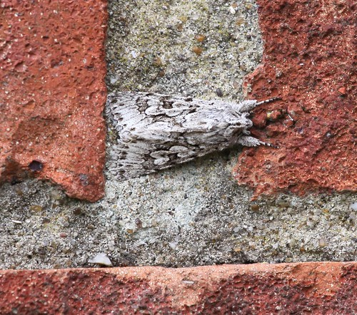 Camouflaged Moth