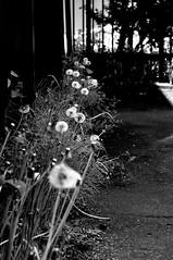running of empty ([cipher]) Tags: flower nikon voigtlander 58mm nokton d300 colorefex capturenx