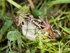 [フリー画像] [両生類] [蛙/カエル] [目を覆う] [覗く/見る]       [フリー素材]