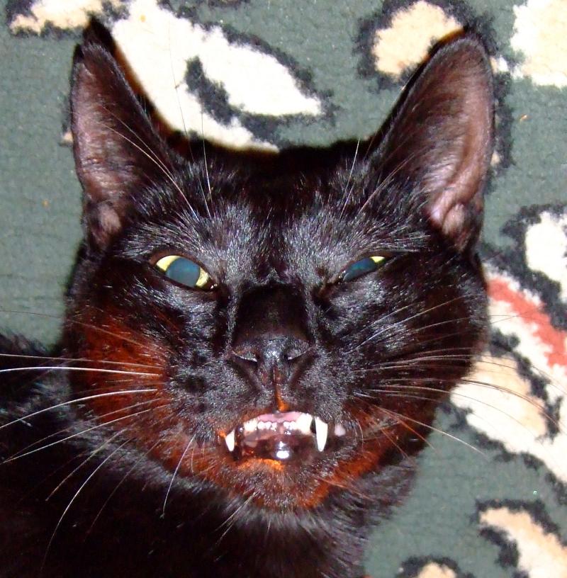 vampire cat