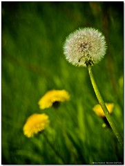 Flower meadow (wosch-pics.com) Tags: flowers green yellow dandelions frühling löwenzahn pusteblume 50200