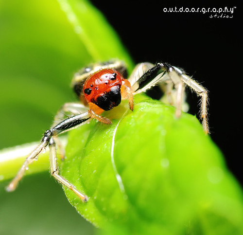 Welcome to CTK :) - Camaricus Maugi Spider