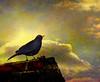 Blackie (Steve-h) Tags: sky clouds europa europe eu textures finepix fujifilm blackbird blueribbonwinner thegoldengallery steveh explorefrontpage supera explore8 anawesomeshot superaplus aplusphoto flickrhearts thegoldentouch threefaves 100faves123 shining☆star favoritesofmyfavorites s100fs goldenart imagesforthelittleprince skeletalmess thankyouverymuchtoallthosewhomadeithappen