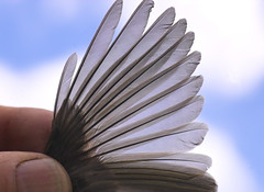 bird feathers (dalinean) Tags: bird small feathers feather sigma tiny translucent delicate sd10 avian