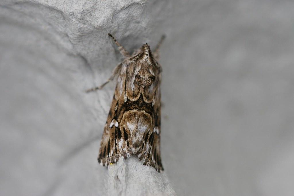 Toadflax Brocade (Calophasia lunula)?