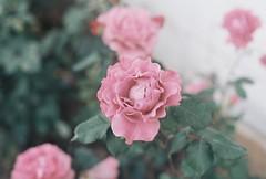 Pink Rose (lola smalls) Tags: sanfrancisco pink flowers people film rose 35mm iso400 places paloalto eastpaloalto minoltasrt101 hadiyahdaché analoggirls analogphotograhy