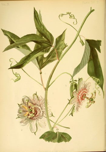 Common American Passion Flower