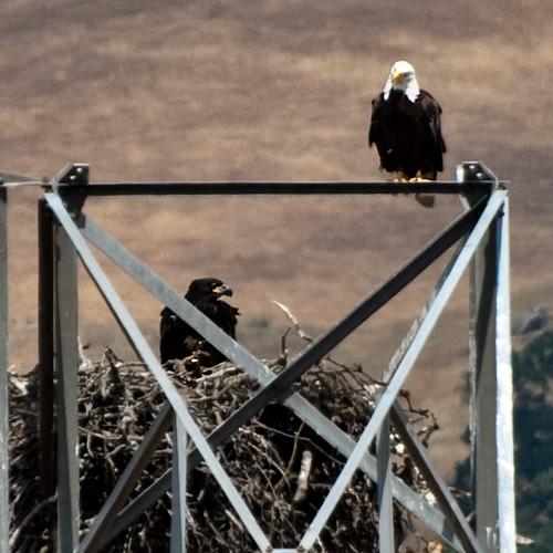 Eaglet #2