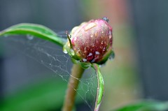 june8.5 016 (Pearly85) Tags: red macro green spiderweb raindrops flowerbud d90