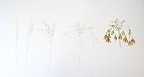 Nectaroscordum Opening