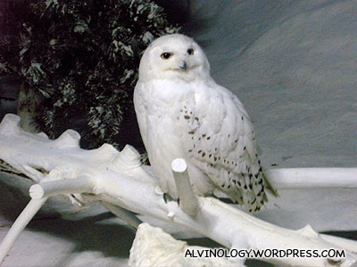 Snow owl! The type that Harry Potter keeps as a pet.