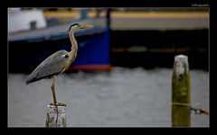 GreyHeron_TheNetherlands (inlinguam) Tags: blue light mer lake black holland reflection bird heron nature water silhouette canon eos grey boat ship natur gray nederland thenetherlands calm mk2 5d tele canon5d common 100400mm ijsselmeer vogel niederlande mkii reiher fischreiher