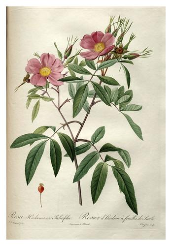 014-Les roses 1817-1824- Pierre-Joseph Redouté