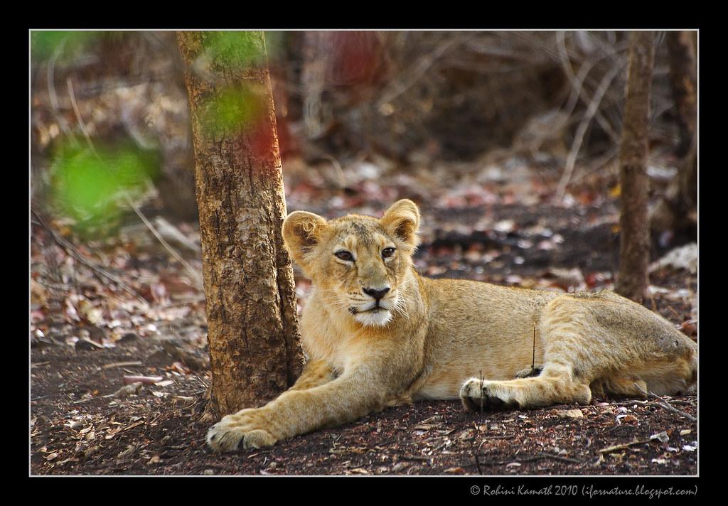 Lion Cub Male