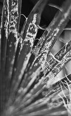 Second Chance (belleshaw) Tags: blackandwhite plant nature bokeh decay palm frond strings backlit simpsonpark 50mmf18 hemetca