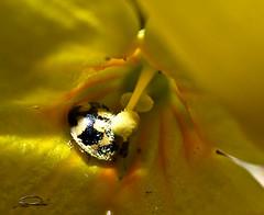 That what bugs' do... (Ann Pernak) Tags: macro ladybug pollen biedronka mywinners pyek annpernak