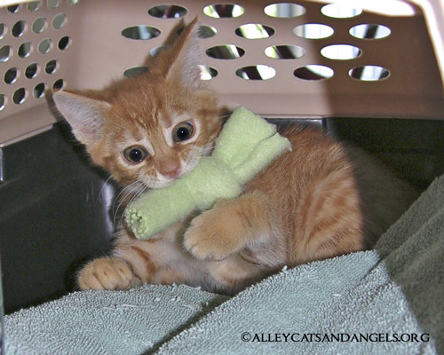 Jack the kitten, playing with a catnip knot